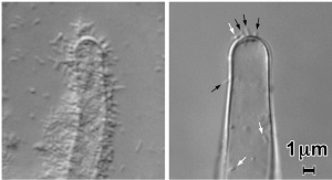 Attachment of Agrobacterium tumefaciens to tomato root hairs. The decrease in binding visible from (A) to (B) is a comparison of wildtype A. tumefaciens (A) to A. tumefaciens without the attachment mediating gene, UPP(B).
