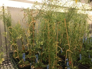 Image 3: A. thaliana plants, a model organism for meiotic recombination used by Nunnery's lab.